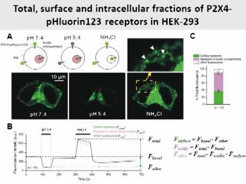 Optical tool to study P2X4 receptor trafficking