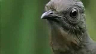 Video El pájaro que imita sonidos. MP3, 3GP, MP4, WEBM, AVI, FLV November 2018