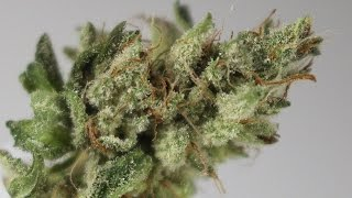 Blue Power - (Strain Review) by Strain Central