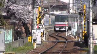 桜だより(4)五条川櫻並木