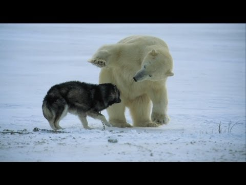 events - http://www.bbc.co.uk/programmes/p012ws7k Some incredible polar bears forge unlikely friendships in Canada's wild north.