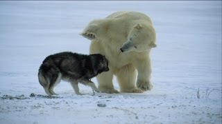 Polar Bear Approaches Sled Dogs, With A Surprising Ending!