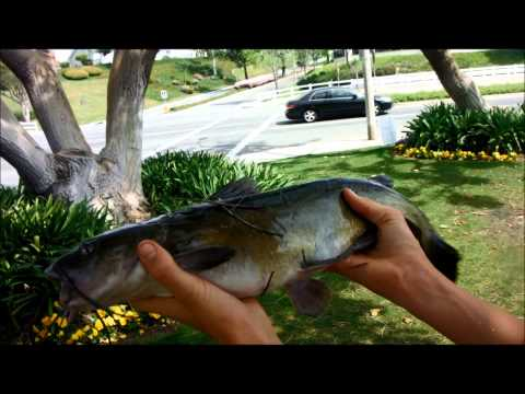 SoCal Pond Fishing Bass and Big Catfish