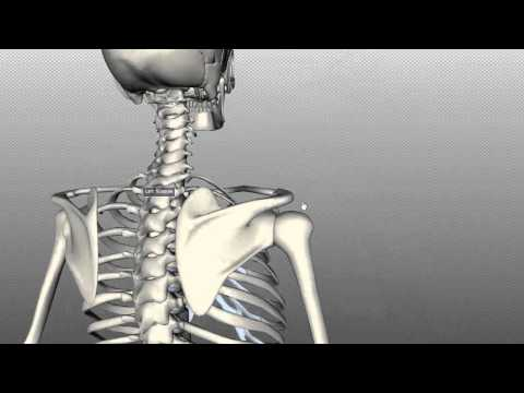 clavicular - http://www.anatomyzone.com 3D anatomy tutorial on the features of the scapula and the clavicle using the BioDigital Human Browser (http://www,biodigitalhuman...