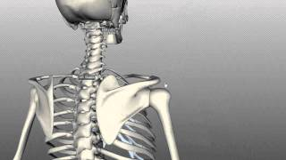 Scapula And Clavicle - Shoulder Girdle - Anatomy Tutorial