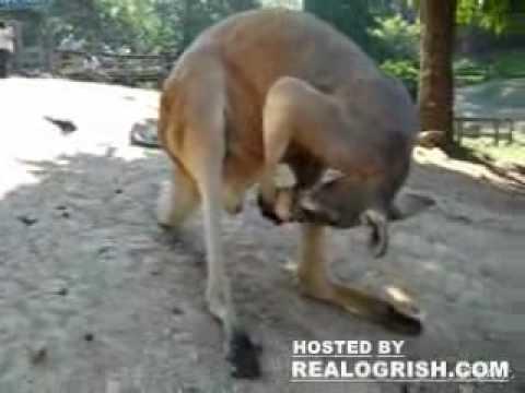 Canguro lame sus bolas