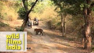 Bandhavgarh India  city images : Tourist jeeps sight and corner a tiger - Bandhavgarh