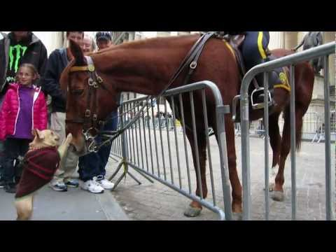 Little Dog Plays Meets NYPD Horse
