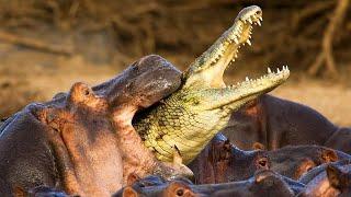 Video Why Hippos are the DEADLIEST ANIMALS! MP3, 3GP, MP4, WEBM, AVI, FLV Juni 2019