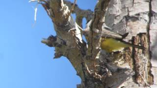 Western Kingbird Video