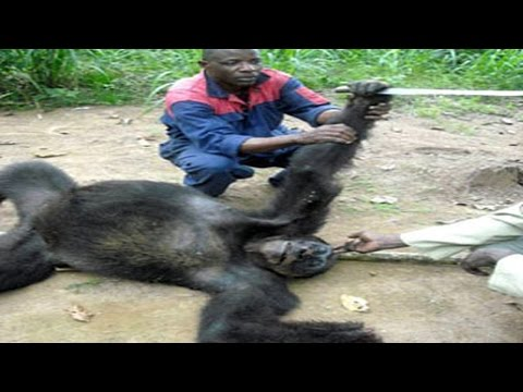 Animal Fights Gorilla Vs Baboon. Lion Vs Tiger. Anaconda Kills Hippo. Monkey Attacks