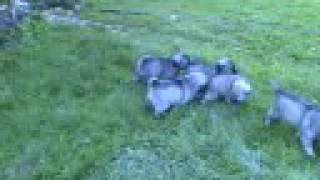 Leglo F: mladički kraški ovčarji (karst shepherd puppies)