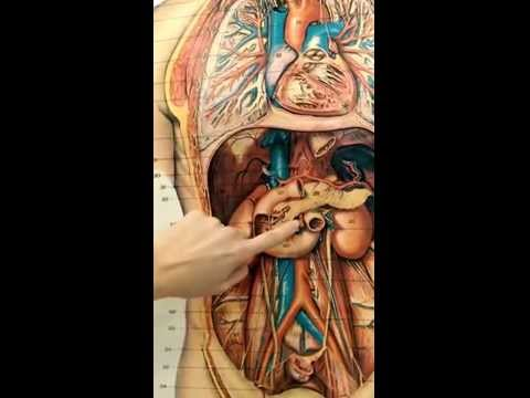 Vessels on chest and abdominal viscera chart