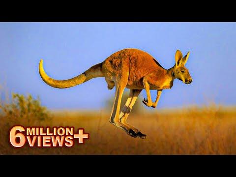 कांगारू रेगिस्तानमें ही क्यूँ पाये जाते है | Reality Of Kangaroos