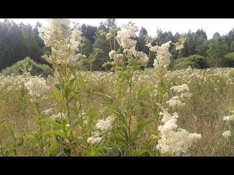 Таволга вязолистная (лабазник, или белоголовник) - это целебное растение