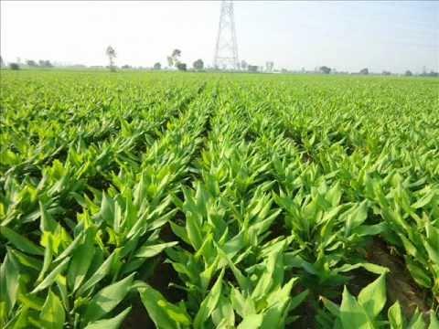Turmeric cultivation :  How to grow Turmeric  Crop  Part-2