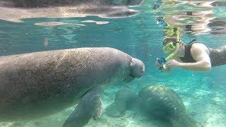 Download Lagu Swimming with Florida manatees Mp3