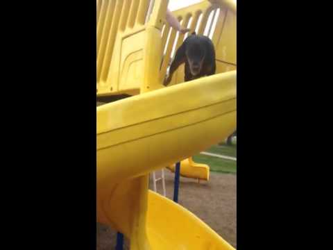 Doberman doesn't understand the slide