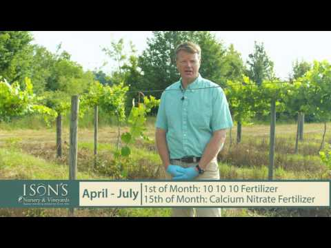Ison's Nursery How To Fertilize Young Muscadine Vines