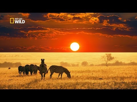 Savannah Life Wild Africa [national Geographic Documentary Hd 2017]