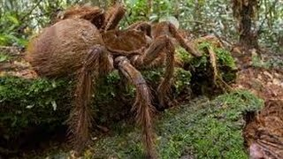 Video Catches Biggest Black Spider in Cambodia    World biggest spider ever found in Cambodia MP3, 3GP, MP4, WEBM, AVI, FLV Oktober 2018