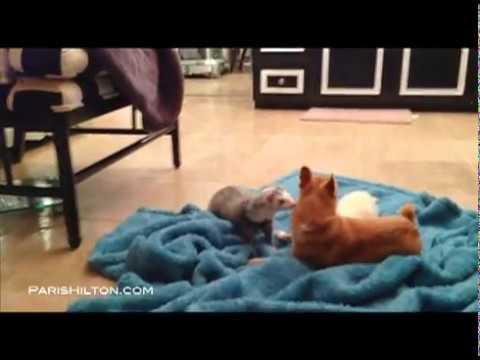 Paris Hilton - Peter Pan Hilton meets my ferrets!