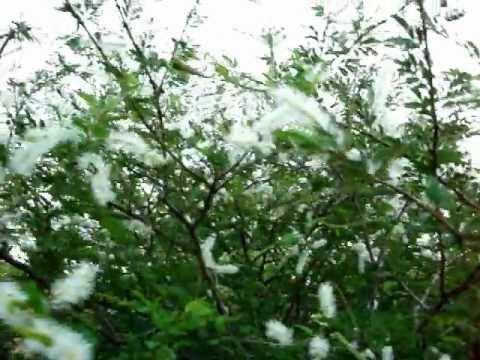 Abelhas em flores de jurema,na caatinga Paraibana!