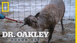 Helping Rudolph the Reindeer   Dr. Oakley, Yukon Vet by Nat Geo WILD