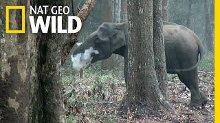 Wild Elephant Blows Smoke in Unusual Video | Nat Geo Wild by Nat Geo WILD