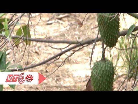 Hạn, mặn tấn công vựa trái cây miền Tây | VTC
