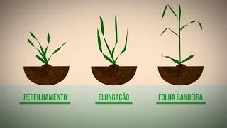 Capa do vídeo Veja as fases de aplicação do fertilizante Nitrogênio no trigo