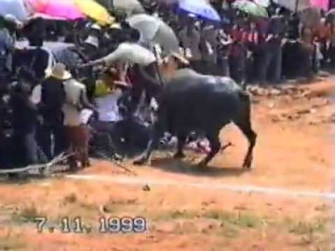 Buffalo - An enraged water Buffalo attack a crowd during a water Buffalo racing event held regularly in Thailand.