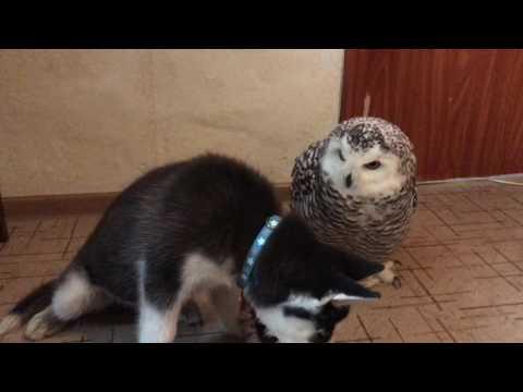 Parhaat kaverukset leikkii – Husky ja pöllö