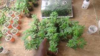 Clone auction announcement GDP #2, limoncello #7 gone !!!!! Shout-out Jay b by Black G 420