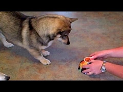 Adorable Take on Laser Play for Dogs