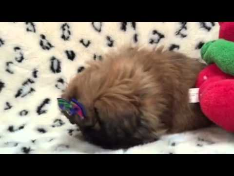 Absolutely adorable Pekingese little boy