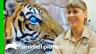 Hunter The Blind Tiger Gets a Check-Up For His Prosthetic Eyes   Crikey! It's The Irwins by Animal Planet
