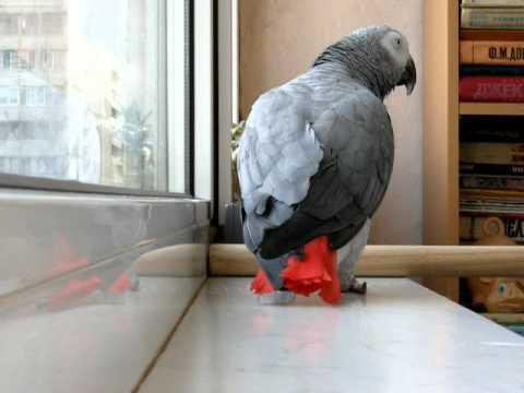 Попугай поёт песню!