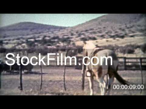 1953: Sheep ranchers American western cowboys dry climate. ROSWELL, NEW MEXICO