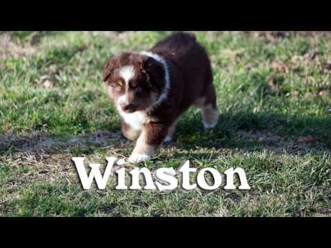 Winston, Miniature Australian Shepherd Puppy