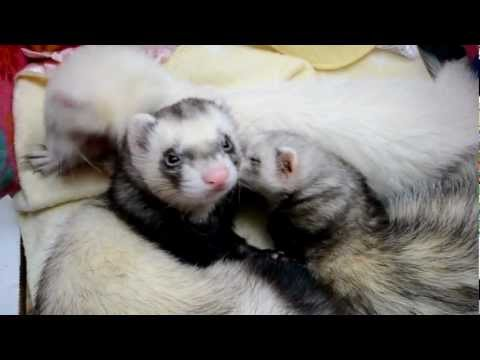 Cute Ferret Morning Wake Up