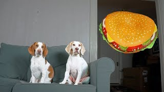 Dogs vs. Giant Cheeseburger Prank: Funny Dogs Maymo & Potpie by Maymo