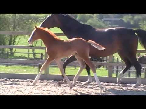 Camiano - colt by Califax out of a StPr mare by Lissabon - Dobrock - Gluecksstern