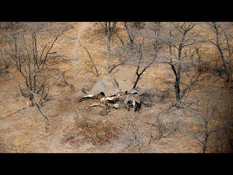 Botswana: Elefanten sollen wieder geschossn werden dürfen