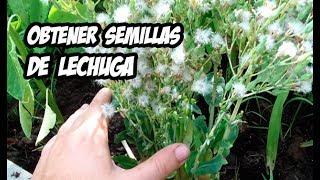 En el vídeo de hoy te explico cómo podemos obtener semillas de nuestras propias hortalizas, en este caso de la lechuga. Un método sencillo con el cual obtendremos muchas semillas orgánicas y seremos más autosuficientes. Cualquier duda la resolvemos en los comentarios.SUSCRÍBETE: http://goo.gl/8sVZ6qPuedes apoyar el canal en Patreon: https://www.patreon.com/lahuertadeivanSígueme en las Redes Sociales :Facebook: https://goo.gl/LpkmbUInstagram: https://goo.gl/OlvYhTTwitter: https://goo.gl/6nftVyMi blog: http://www.lahuertadeivan.com