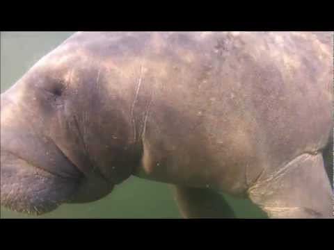 Manatee Belly Rub