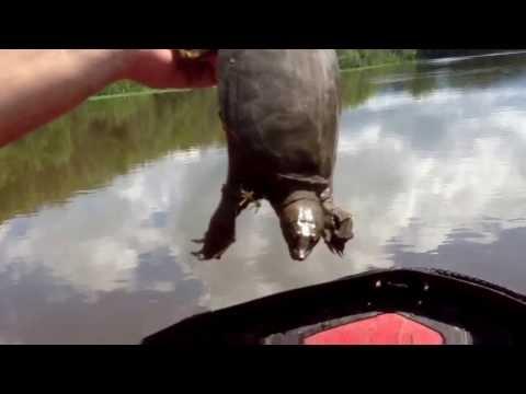 відео как ловить черепаху