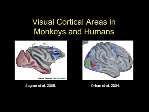 Spezialisierungen des Menschlichen Gehirns im Zusammenhang zur Sprache