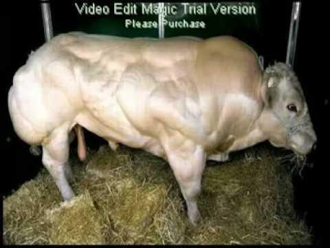 Muscle bulls