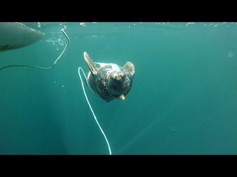 Военная служба ластоногих: вМурманске тюленей готовят квыполнению боевых задач